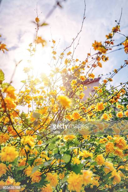 Forsythia -  Yellow flowers on tree and sunlight