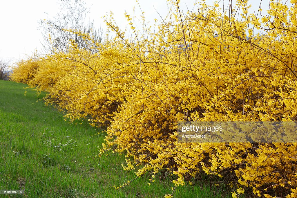 Forsythia, yellow spring flowers hedge and green grass : Stock Photo