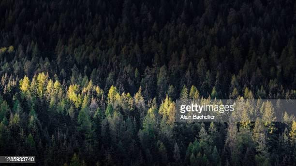 forêt de montagne - alain bachellier photos et images de collection