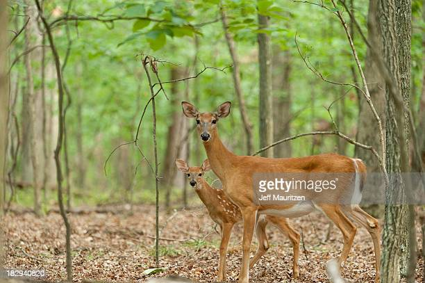 a mother deer and fawn look at the camera. - white tail deer stock photos and pictures