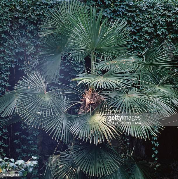 Fortune Palm or Chinese Palm or Chusan Arecaceae park of Villa Demidoff Medici Villas Pratolino Vaglia Tuscany Italy