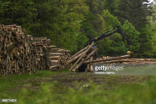 A forwarder full of f tree trunks is seen during a large scale logging taking place at Bialowieza forest an Unesco natural world heritage site in...