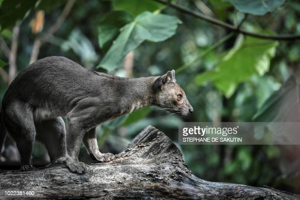 A Fossa female is pictured on August 24 2018 at Paris' zoological gardens also known as the Zoo de Vincennes
