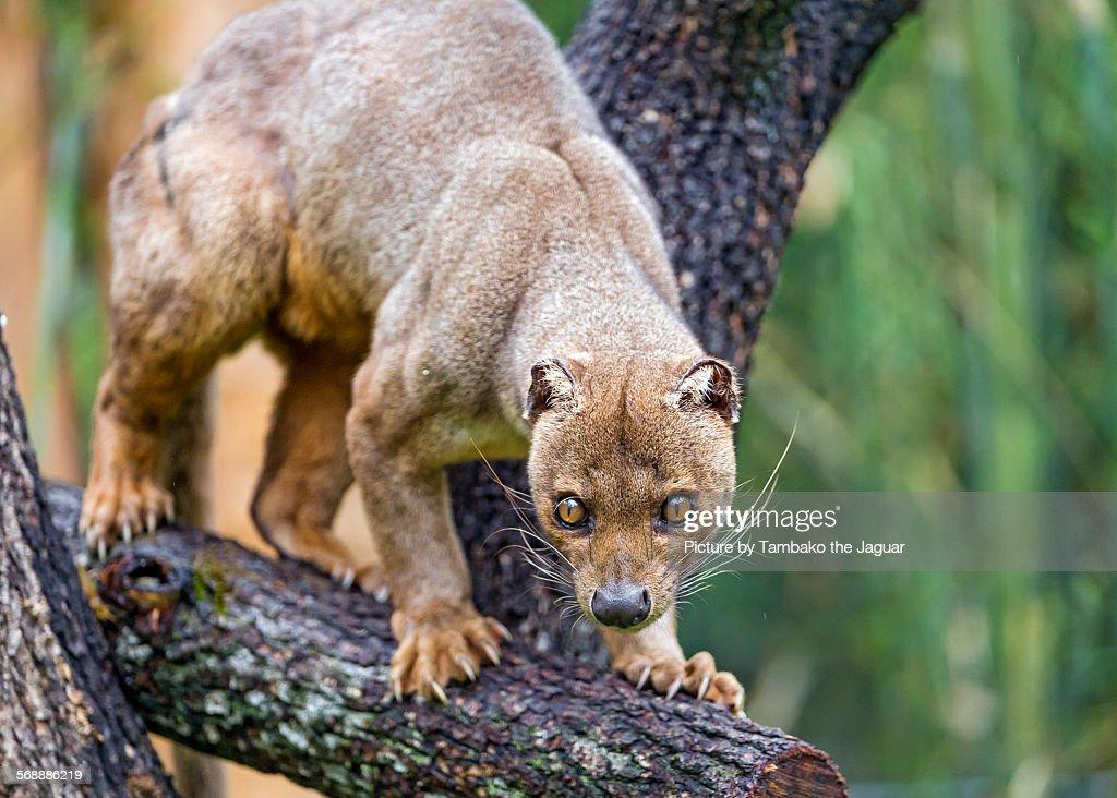 Fossa on the tree : Stock Photo