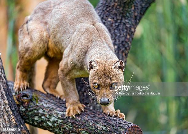 fossa on the tree - fossa stock photos and pictures