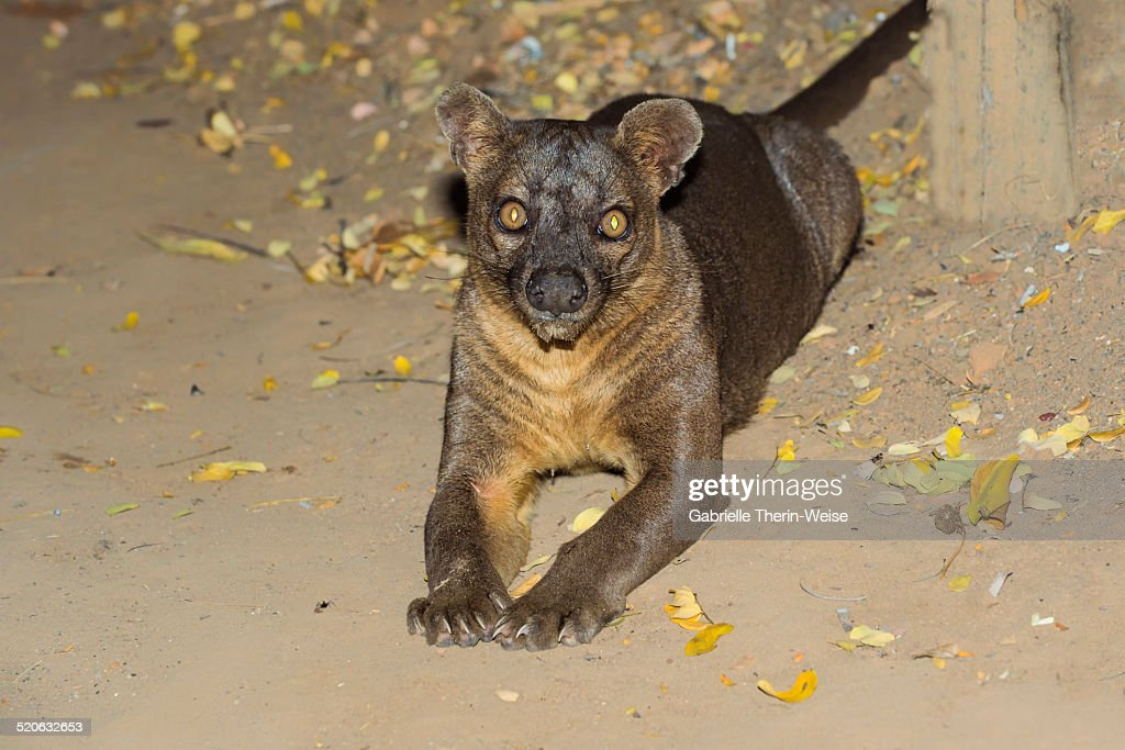 Fossa : Stock Photo