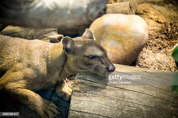 fossa - fossa stock photos and pictures