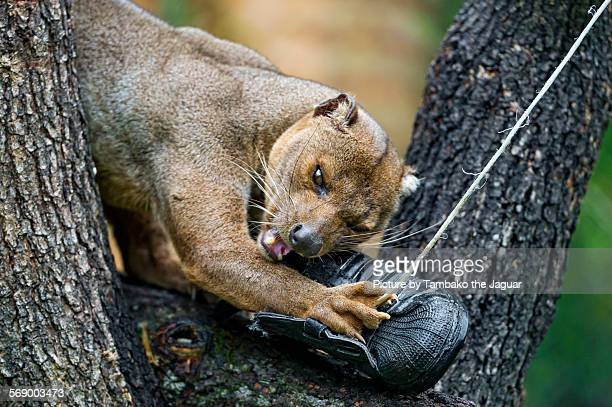 fossa playing with shoe - fossa stock photos and pictures