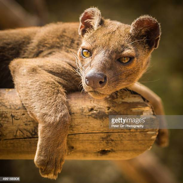 fossa resting on a platform - fossa stock photos and pictures