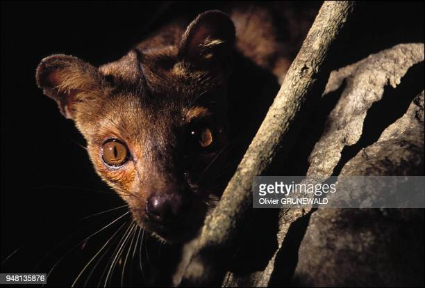 A Fossa the largest predator native to Madagascar is part of an one of a kind family which is somewhere in between the mustelidae and the largest...