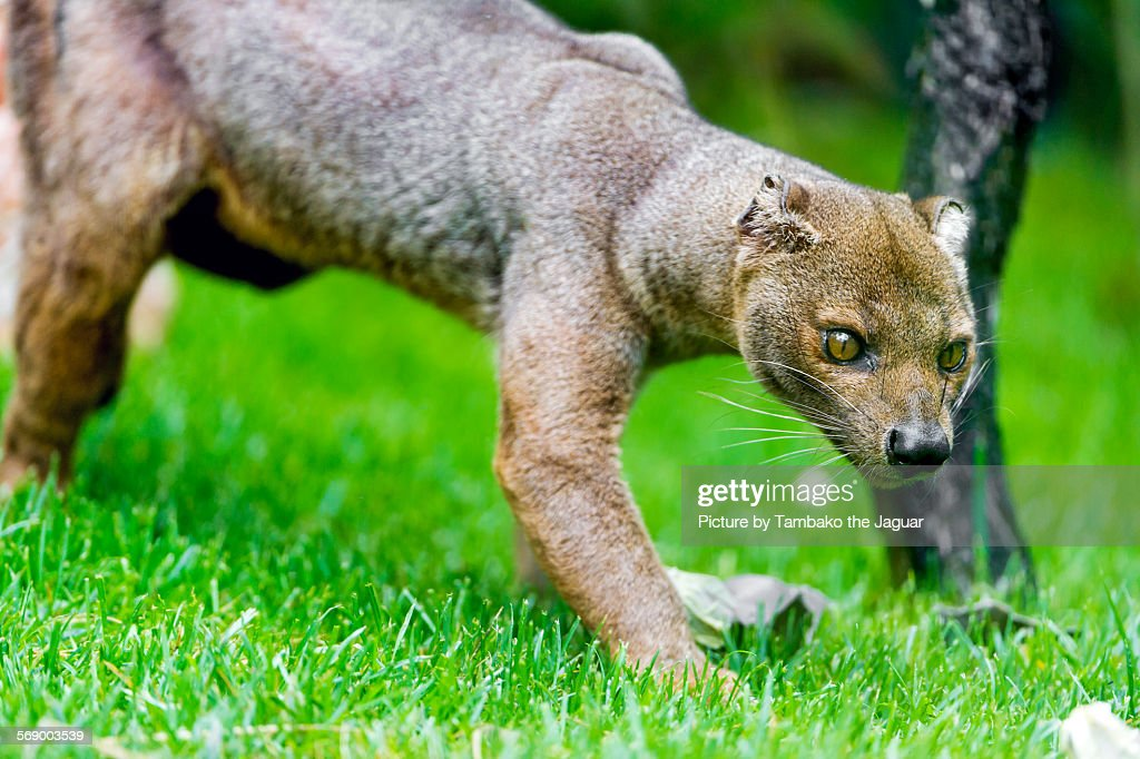 Fossa walking in the grass : Stock Photo