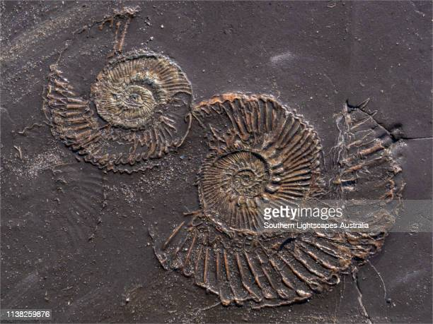 fossil at kimmeridge bay, jurassic coastline of dorset, england, uk. - fossil stock pictures, royalty-free photos & images
