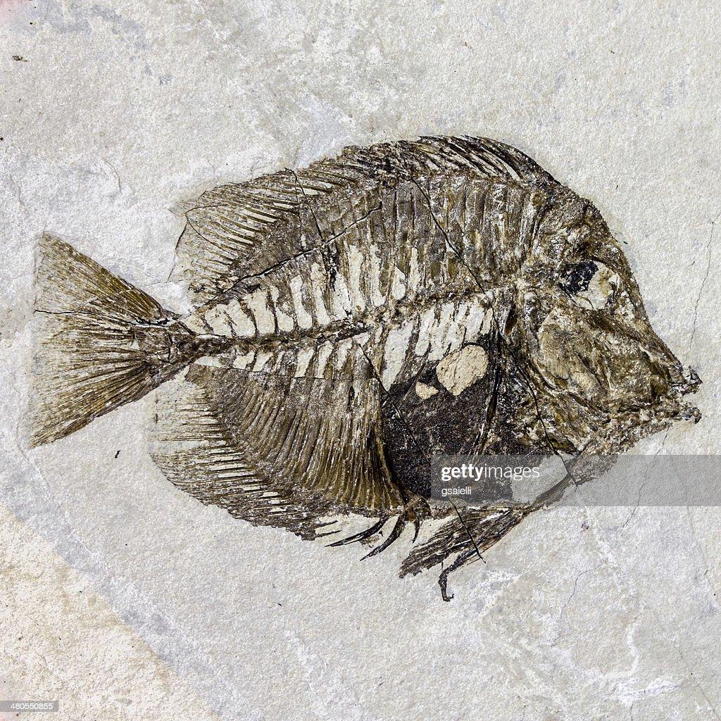 Fóssil de Peixe : Foto de stock
