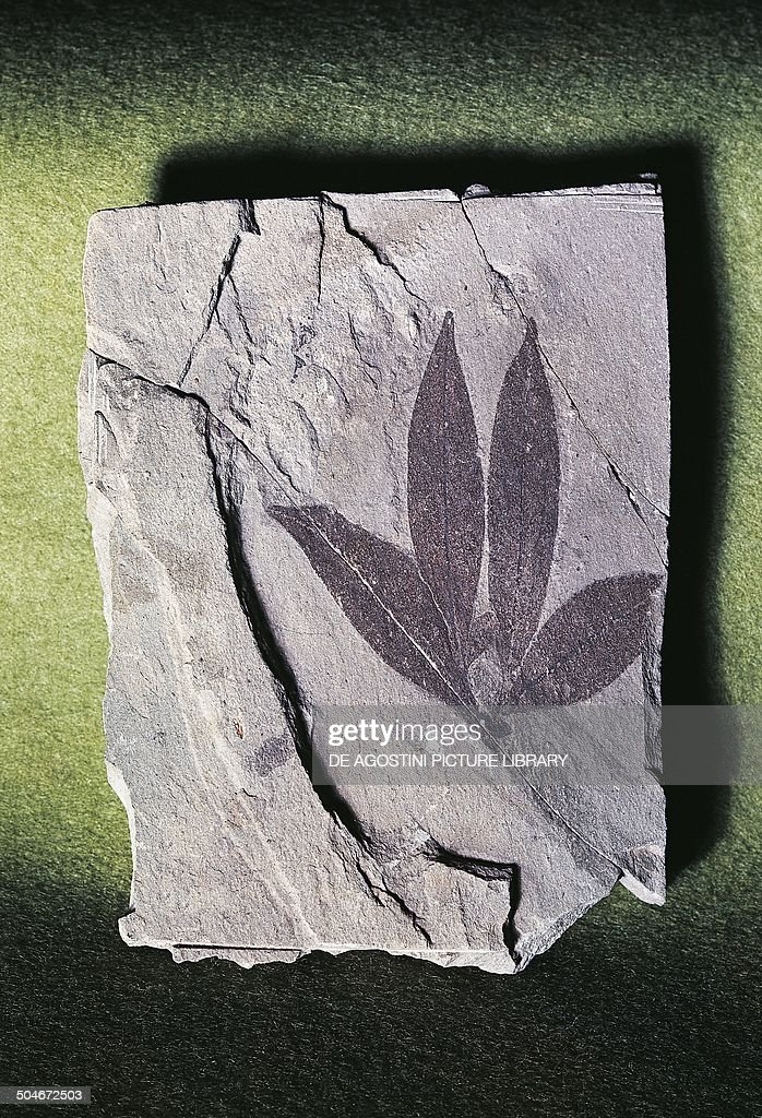 Fossil leaf Impression of Eugenia italica... : News Photo