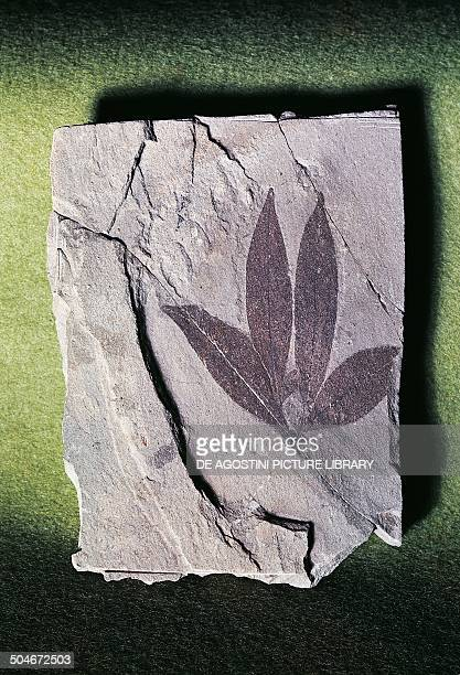 Fossil leaf Impression of Eugenia italica Myrtaceae