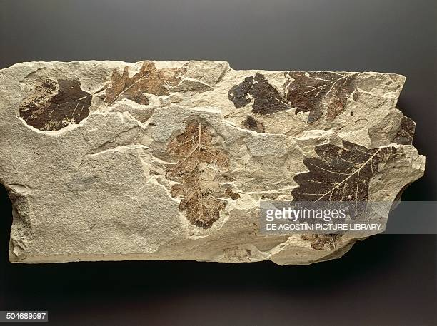 Fossil leaves of oak and alder Quaternary