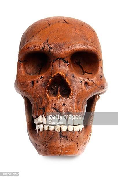 Fósil neandertal cráneo