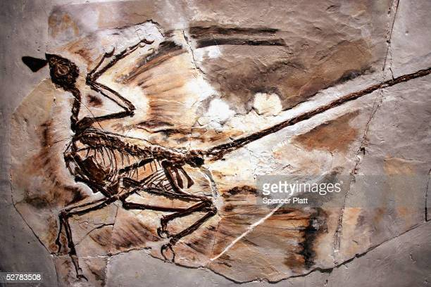 A fossil of a Microraptor from a 130million year old forest that existed in what is now Liaoning Province China is displayed at the new exhibit...