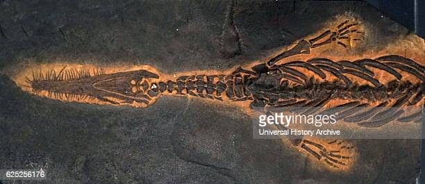 Fossil of a Mosasaur an extinct group of large marine reptiles Dated 21st Century