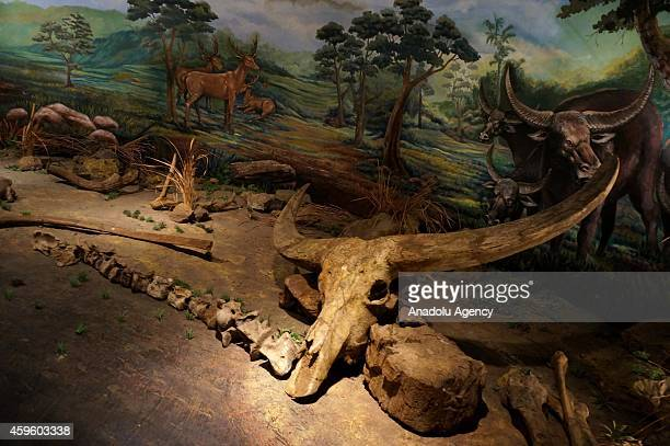 Fossil of ancient bull is seen at Sangiran Museum near Sangiran Early Man Site situated about 15 kilometers in the north of Solo town in Central Java...