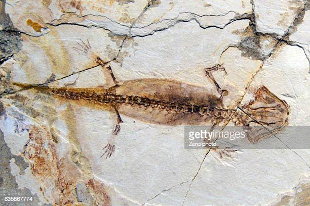 fossil of ancient times - fossil stock photos and pictures