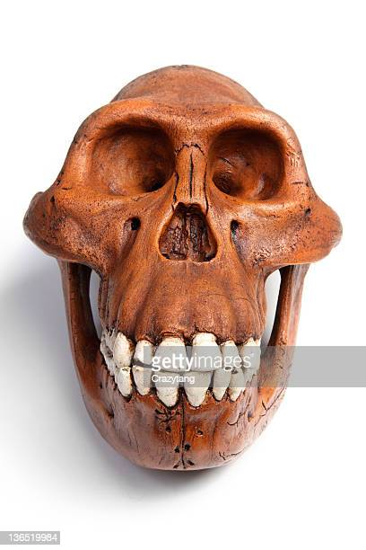 fossil of australopithecus afarensis - australopithecus stock pictures, royalty-free photos & images