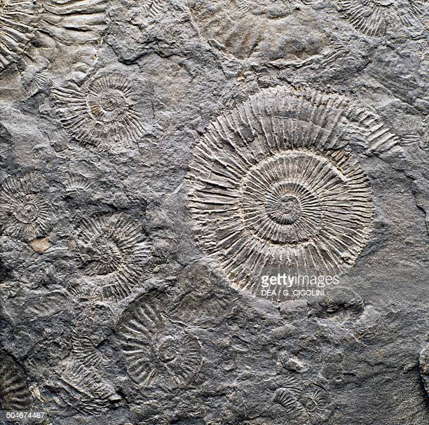 Fossil of Dactylioceras commune ammonite Cephalopoda Toarcian Early Jurassic from Holzmaden Germany