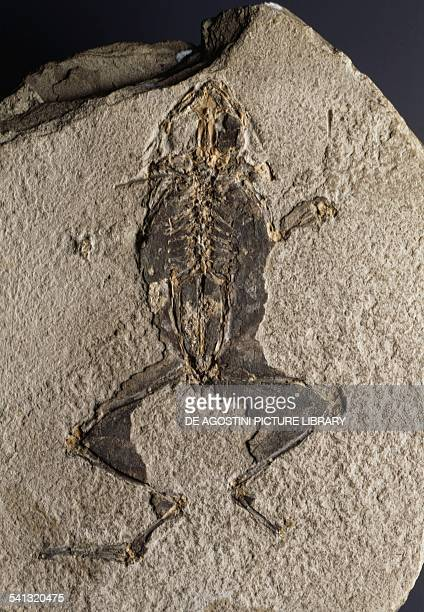 Fossil of Frog Amphibians