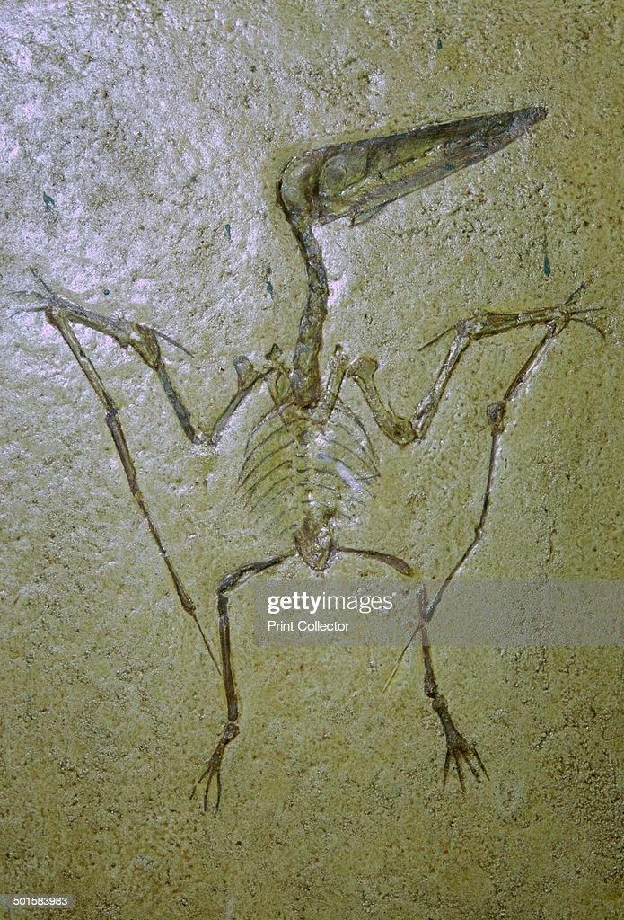 Fossil of a Pterodactyl. : News Photo