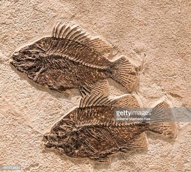 Fossil remains of two fish at the Royal Ontario Museum The fishes are petrified over limestone The Royal Ontario Museum is a museum of art world...