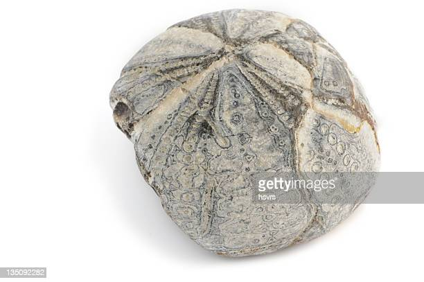 fossil sea urchin on white background - flint tool stock photos and pictures