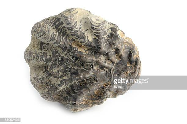 fossil shell on white background - flint tool stock photos and pictures