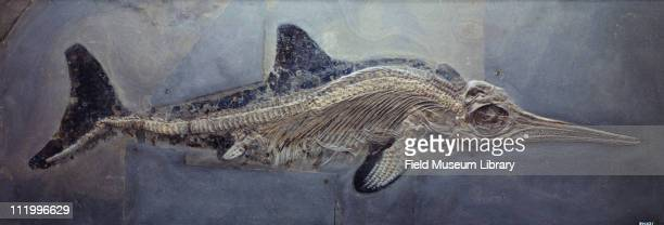 Fossil skeleton of a fish shaped ichthyosaur with epidermis outline preserved Stenopterygius quardiscissus Swimming reptile of early Mesozoic finned...