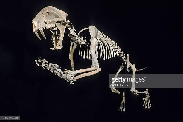Fossil skeleton of sabertoothed cat Dinictis felina Oligocene Epoch Sioux County Nebraska USA