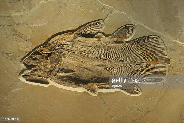 fossilised fish - ancient stock pictures, royalty-free photos & images