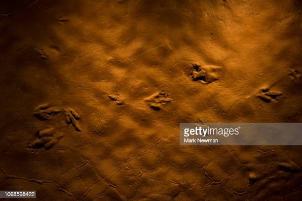 fossilized dinosaur tracks - footprint stock pictures, royalty-free photos & images