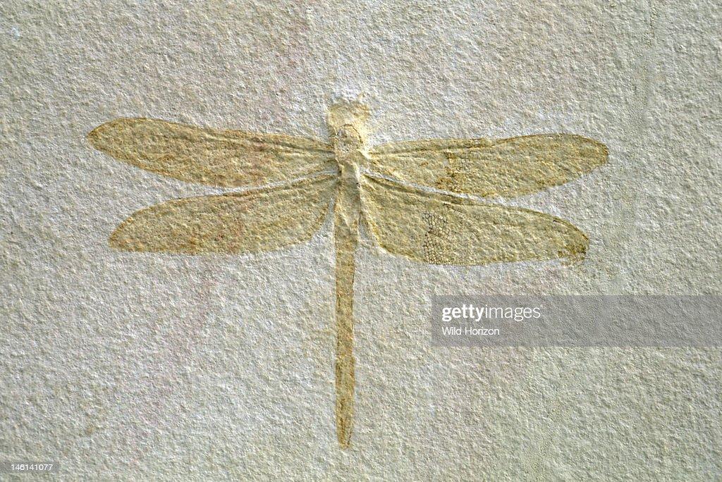 Fossilized dragonfly with a 19cm wingspan Isophlebia species Upper Jurassic Solnhofen limestone Solnhofen, Bavaria, Germany Photographed under controlled conditions (Specimen courtesy of Raimund Albersdoerfer, Germany) : News Photo