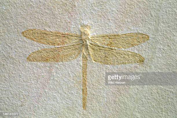 Fossilized dragonfly with a 19cm wingspan Isophlebia species Upper Jurassic Solnhofen limestone Solnhofen Bavaria Germany Photographed under...