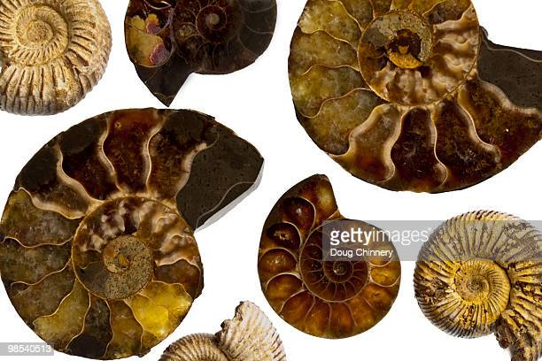 fossilized fibonacchi spirals - ammonite stock photos and pictures
