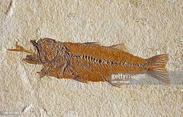 Fossilized fish swallowing another fish Mioplosus labracoides eating Diplomystus dentatus From the Green River Formation Eocene epoch Tertiary period...