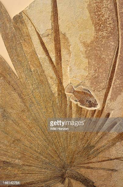 Fossilized palm frond with a perchlike fish Sabalites species Fish Priscacara liops From the Green River Formation Eocene epoch Tertiary period...