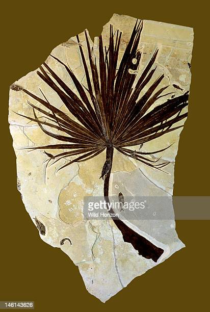 Fossilized sabal palm frond with fish Sabalites species Fish Knightia species Eocene Epoch 55 to 34 million years ago Green River Formation Kemmerer...