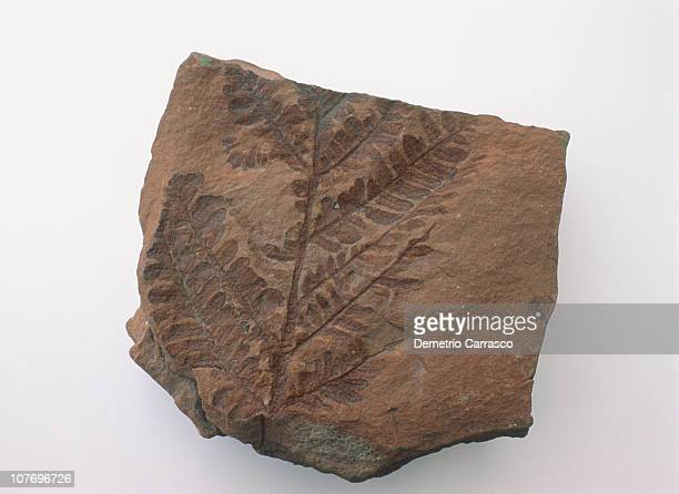 fossilized seedfern leaf found in the grand canyon - fossil imagens e fotografias de stock