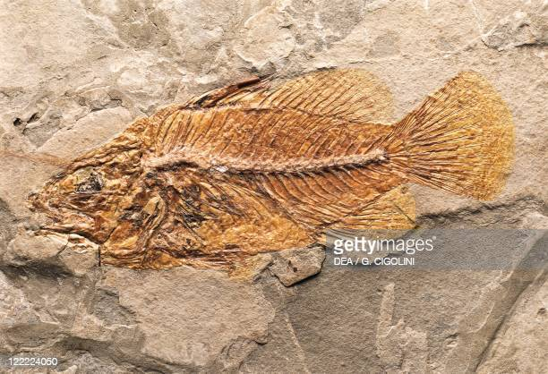 Fossils Deuterostomia Chordata Actinopterygii Cyclopoma spinosum Eocene Europe