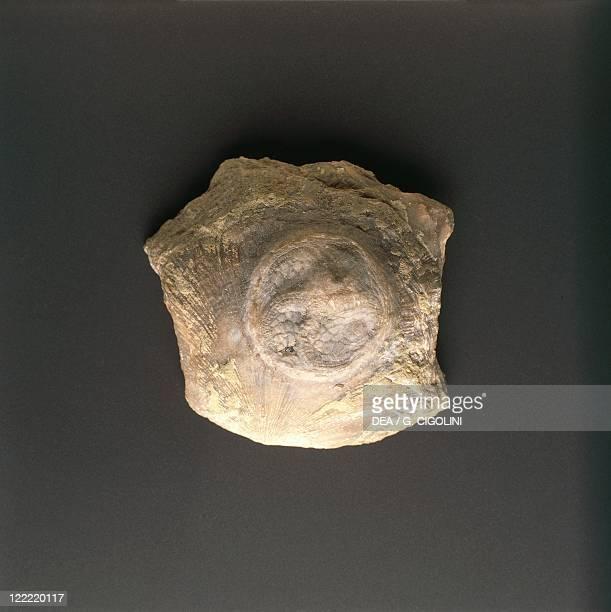Fossils - Deuterostomia - Echinodermata - Crinoidea - Isorophus cincinnatiensis - Ordovician.