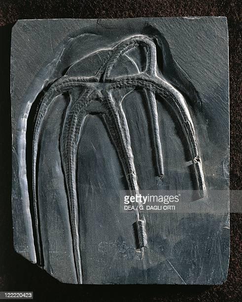Fossils Deuterostomia Echinodermata Ophiuroidea Furcaster decheni Devonian Germany