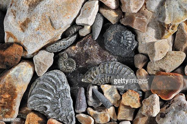 Fossils like fossil guards of belemnites and ammonites on shingle beach near Lyme Regis along the Jurassic Coast Dorset southern England UK