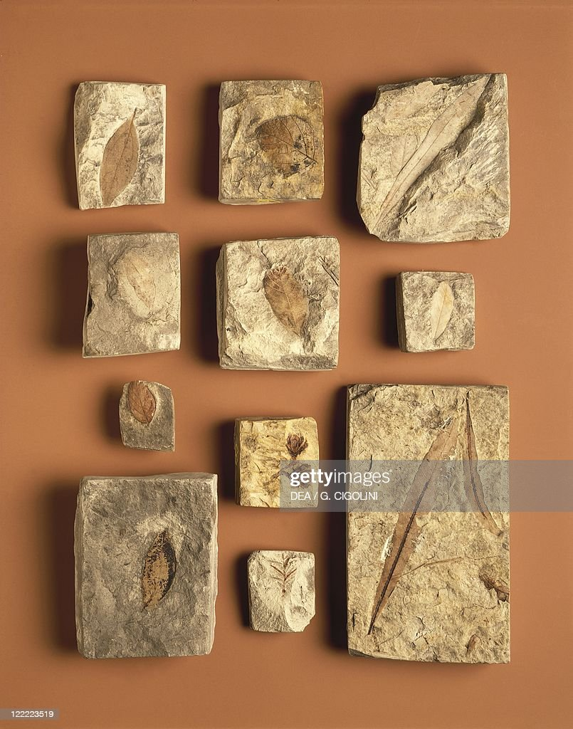 Fossils - Myryca, Sequoia, Quercus, Glyptostrobus, Ulmus, Cinnamonum, Celtis - Miocene.