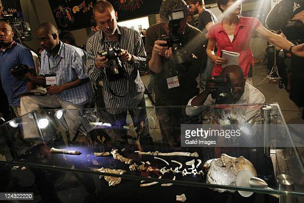 Fossils of a two millionyearold Australopithecus sediba discovered at the Cradle of Humankind are displayed at the Origins Centre on September 8 2011...