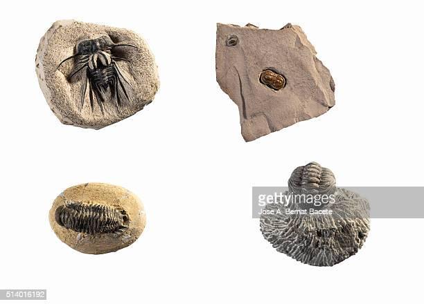 Fossils of different species of marine animals, (trilobites), on white background.